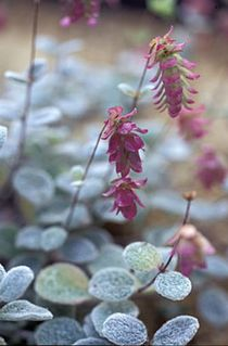 Dittany of Crete -  - Origanum dictamnus .5 oz